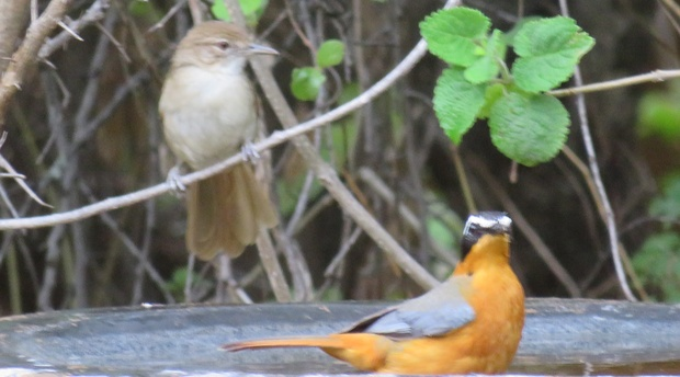 White browed robin chat and a bulbul